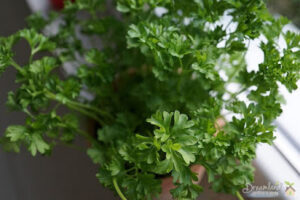 Growing Herbs: Herb Garden Ideas, What to Expect and How to Grow Parsley at Home