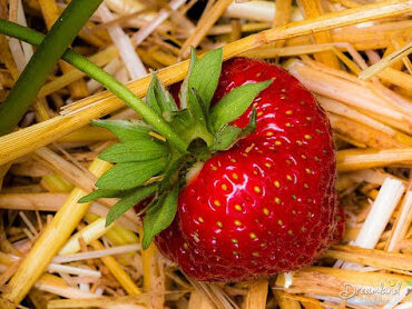featured image of strawberry plants care
