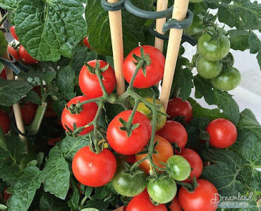 Featured of Growing Tiny Tim Tomatoes Indoors in Winter
