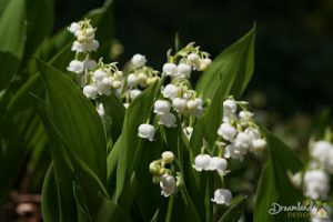 About the Lily of the Valley Flower