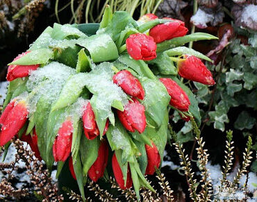 Featured of Protecting Plants From Frost, Storing Plants Outdoors During the Winter