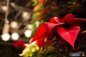 House Plants: Planting Flowers, How to Take Care of Poinsettias