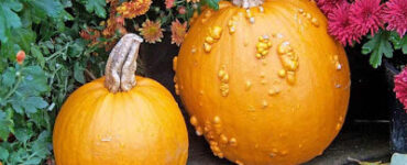 Featured image of How to Grow Pumpkins Successfully (Harvesting Pumpkins and Gourds)