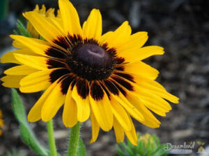 Flower Garden: How to Plant Black Eyed Susan Flowers – Rudbeckia Hirta
