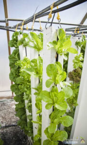 Hydroponic Lettuce: All About pH
