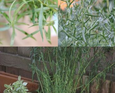 Featured of How to Grow Tarragon: How to Find, Plant and Care for French Tarragon