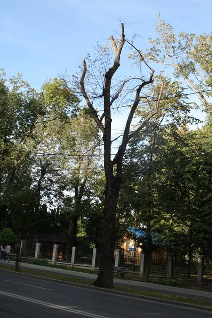 Example of Tree Topping