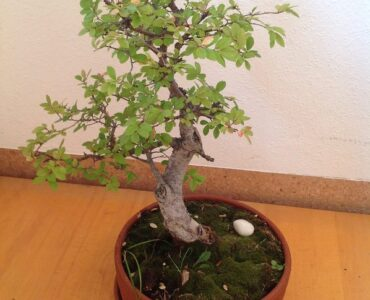 Featured of Five Easy Ways to Take the Right Care of Your Bonsai Trees