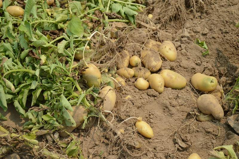 Tips for Lucrative Potato Farming