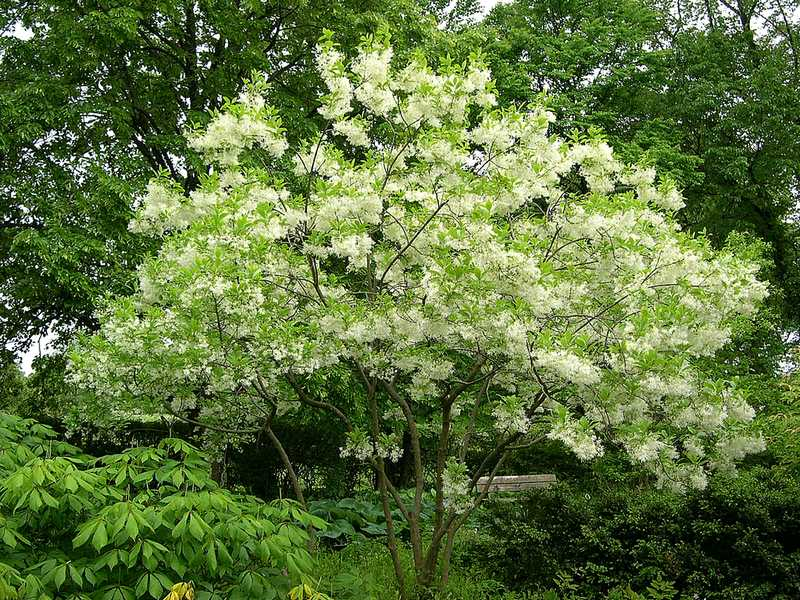 Fringe Tree - 7 Trees That Provide Food and Shelter for Birds and Butterflies