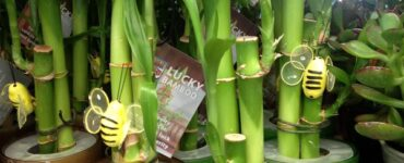 Featured of How to Care for Lucky Bamboo