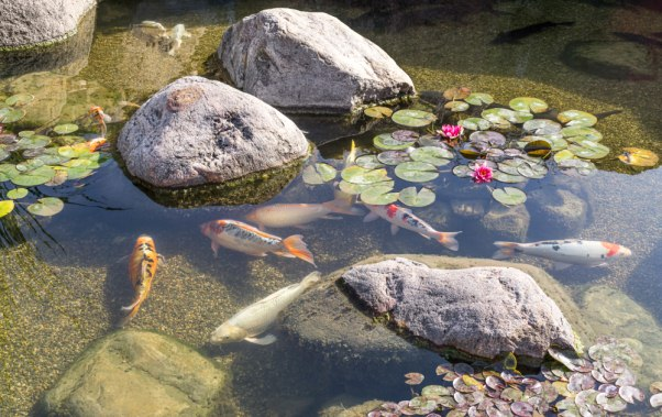 How to Maintain a Healthy Fish Pond