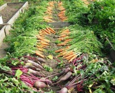Featured of The Best Time of Day to Harvest a Vegetable Garden
