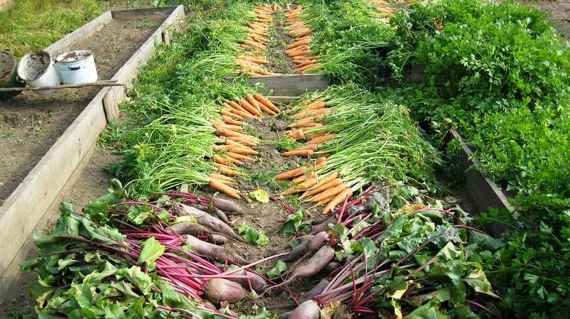 The Best Time of Day to Harvest a Vegetable Garden