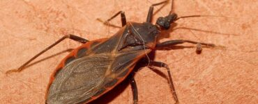 Featured of How to Get Rid of Kissing Bugs