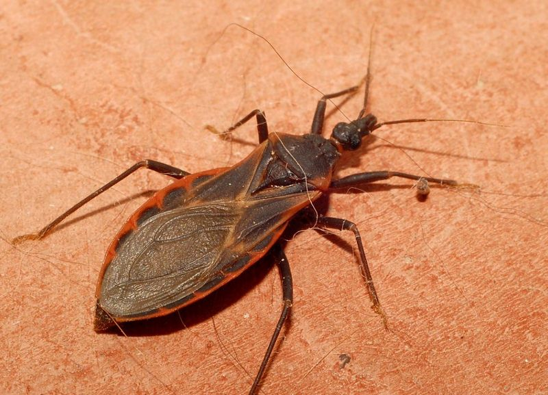 How to Get Rid of Kissing Bugs