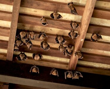 Featured image - How Attic Bats Can Destroy Your Roof's Foundation