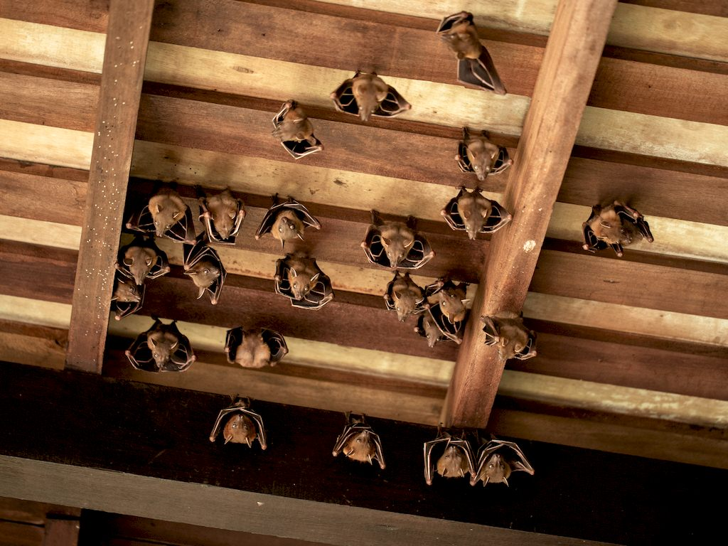 image - How Attic Bats Can Destroy Your Roof's Foundation