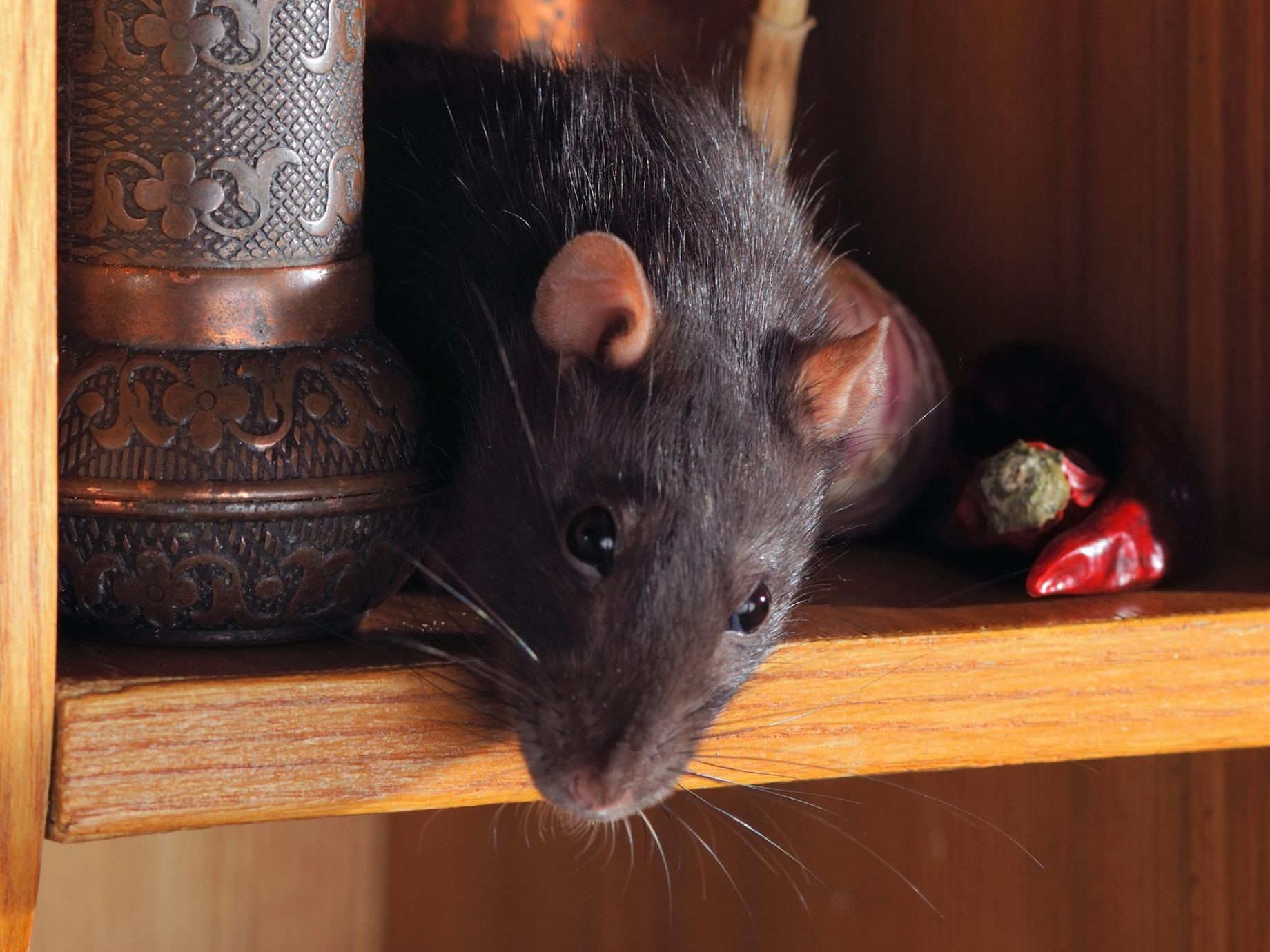 Image - Mice and Rats