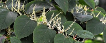 Featured image - Tips for Preventing the Spread of Japanese Knotweed