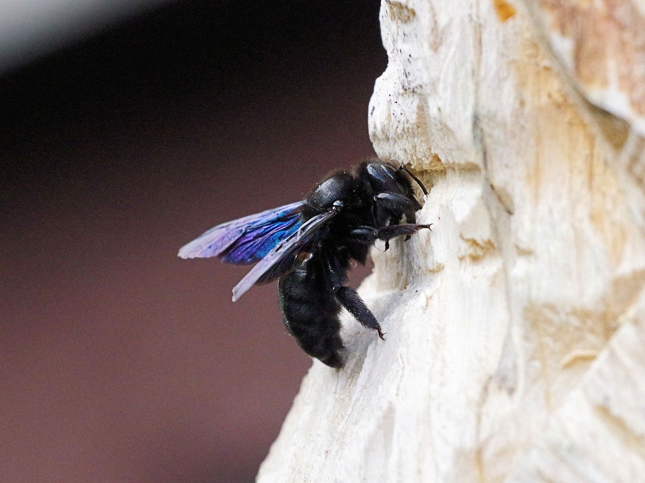 image - Top Facts about Carpenter Bees a How to Deal with Them