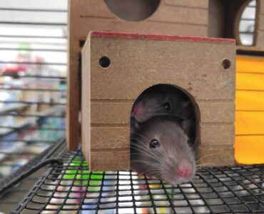 Featured image - How to Control Rodents in Your Home
