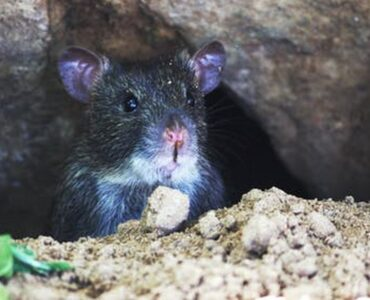 featured image - How to Keep Rats Away from Home