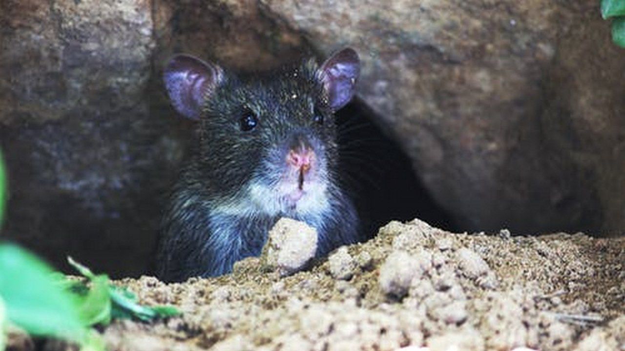 image - How to Keep Rats Away from Home