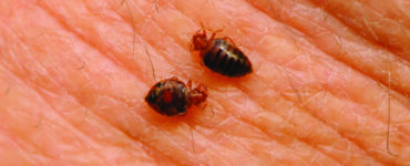 featured image - Signs and Symptoms of Bed Bugs