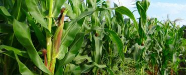 Featured image - Farm Sustainability: 7 Proven Ways to Improve Corn Crop Yields