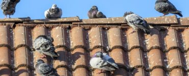 featured image - How Do You Stop Pigeons from Pooping on Your Roof