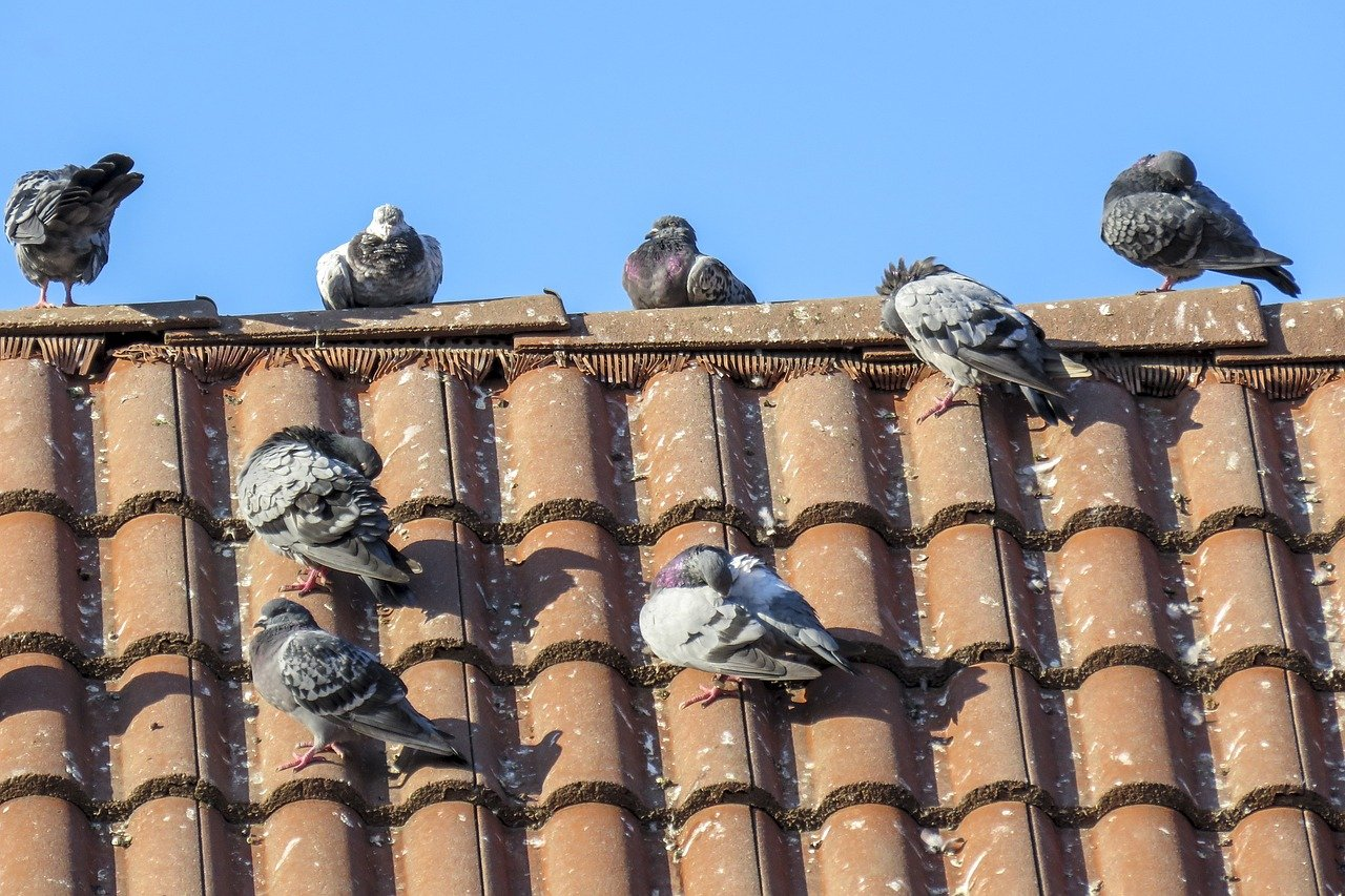 image - How Do You Stop Pigeons from Pooping on Your Roof