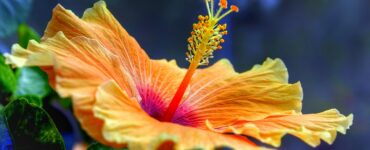featured image - How to Care for Your Hibiscus Tree