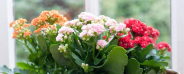 featured image - Kalanchoe Guide 101- Learning How to Grow and Maintain This Houseplant