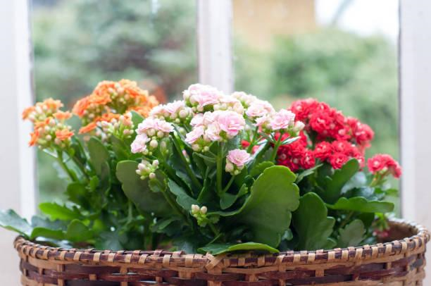 image - Kalanchoe Guide 101- Learning How to Grow and Maintain This Houseplant