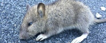 featured image - How To Prevent Rats from Entering Your Backyard