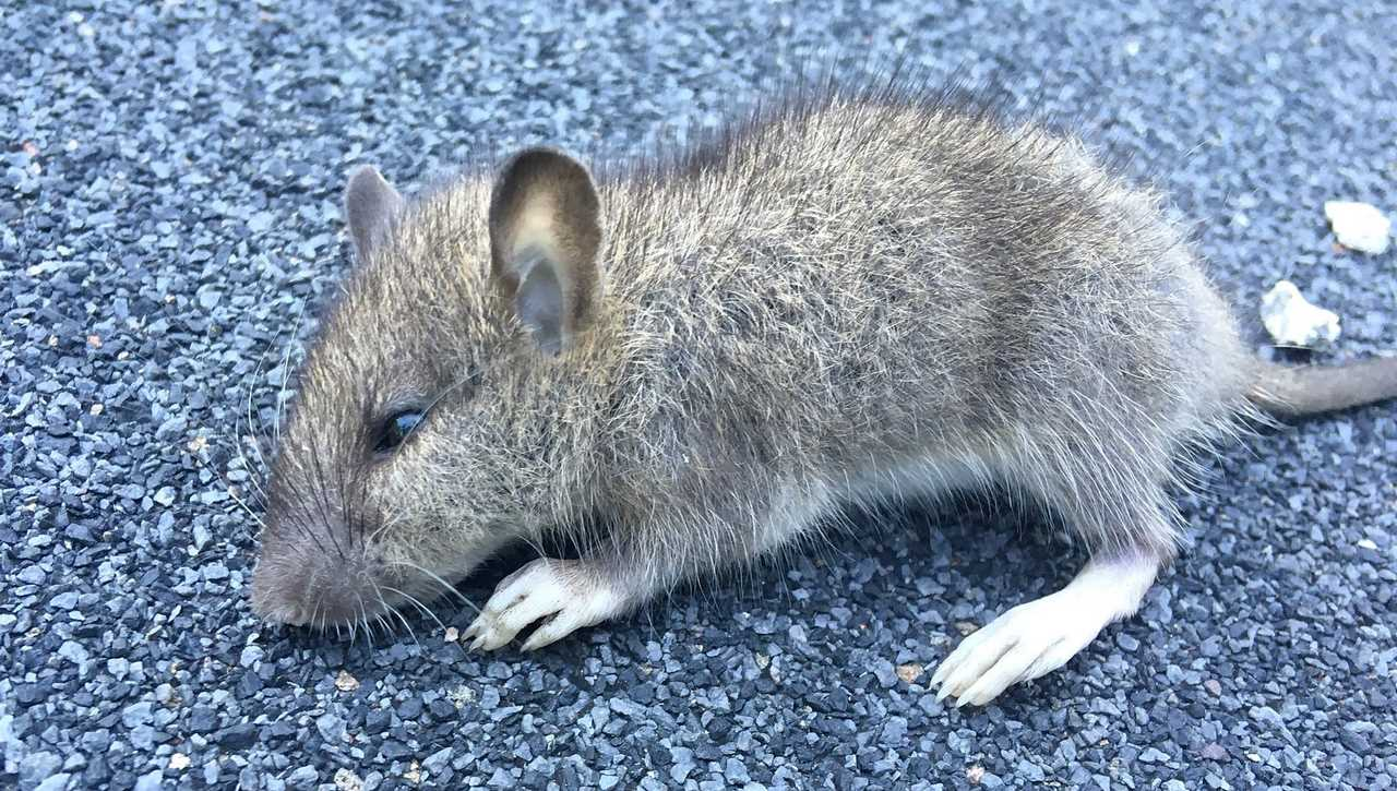 image - How To Prevent Rats from Entering Your Backyard