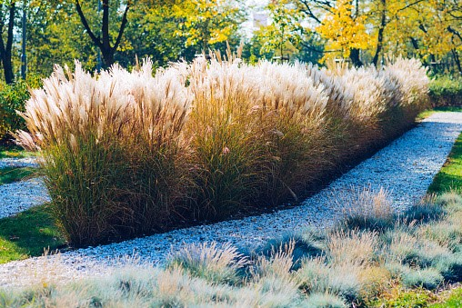 image - Ornamental Grass and Ground Cover