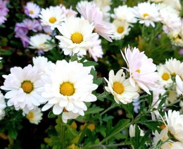 featured image - 7 Great Fall Flowers for a More Colourful and Gorgeous Garden